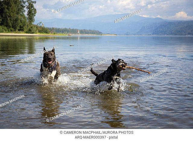 Two black dogs playing in Columbia River, Portland, Oregon, USA