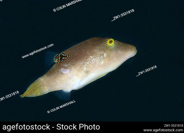 Compressed Toby (Canthigaster compressa), Laha dive site, Ambon, Maluku, Indonesia, Banda Sea