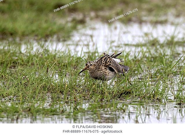 Pectoral Sandpiper female. Spring North Norfolk 2016