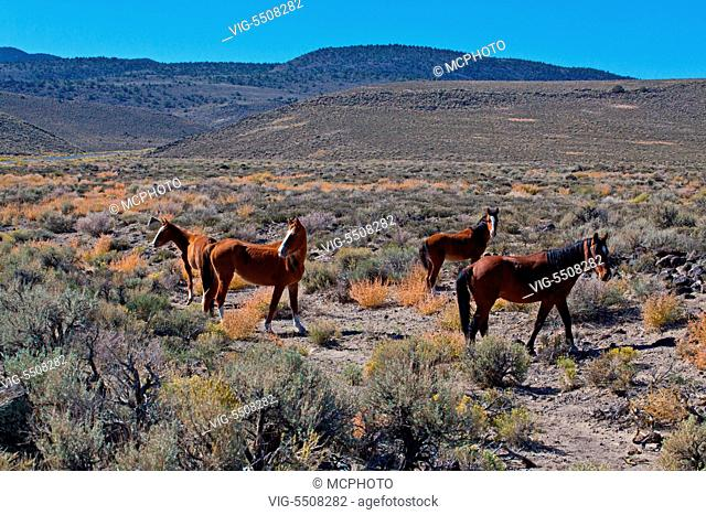 WILD HORSES in the NEVADA HIGH DESSERT - USA, 06/10/2012