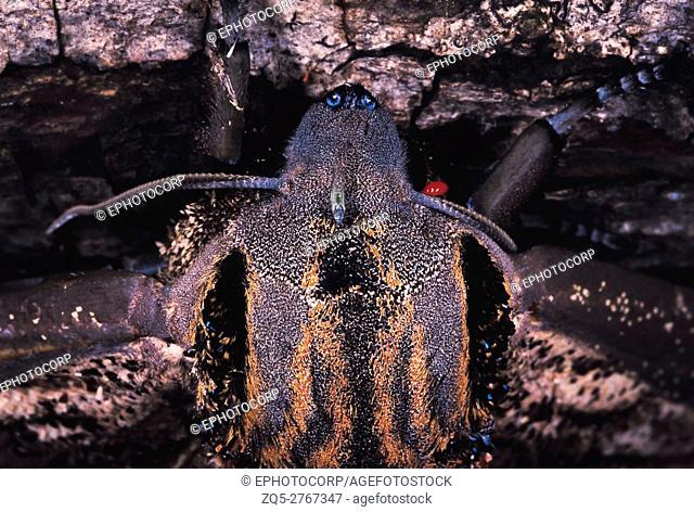 Marbled moth with mite. Arunachal Pradesh, India
