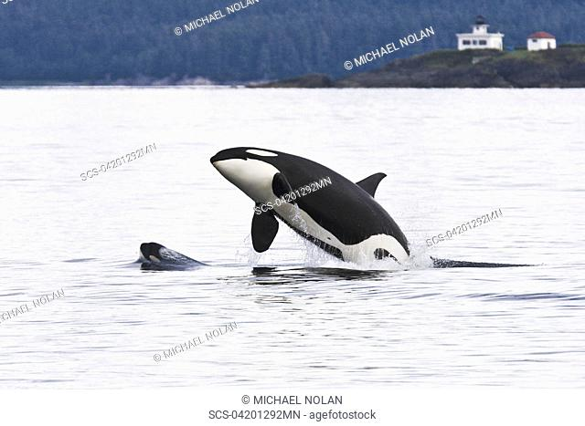 An adult bulll Orca Orcinus orca breaching as a very young note the yellow coloration on eye patch calf head lunges in front of him in Chatham Strait off...