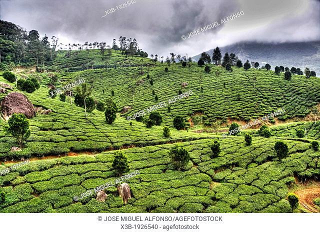 Tea leaf pickers, Kollam, India
