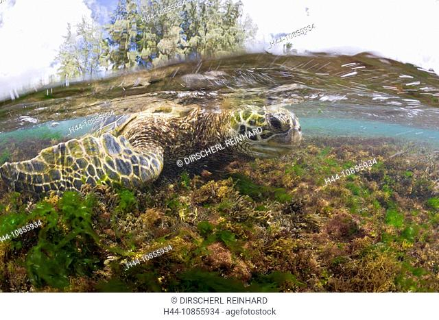 10855934, Green Turtle, feeding, Algas, Underwater