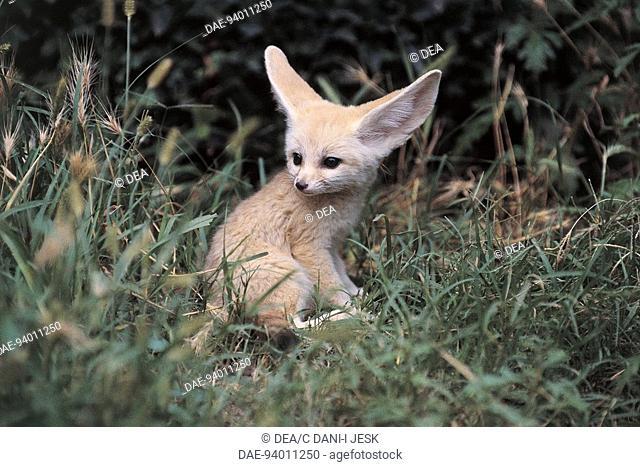 Zoology - Mammals - Canidae. Fennec (Vulpes zerda)