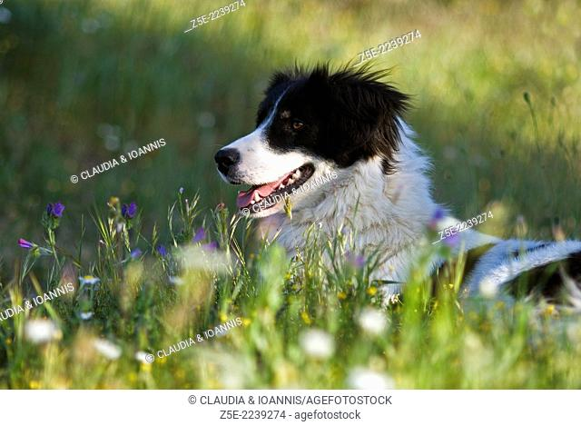 Border Collie lying in meadow