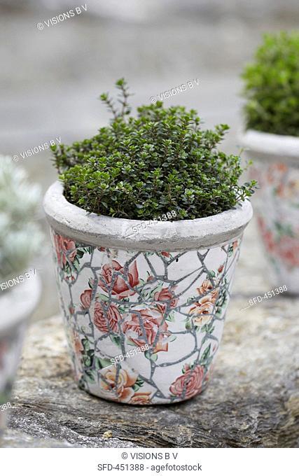 Lemon thyme in a flowerpot