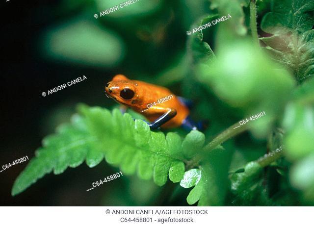 Frog. Tortuguero National Park. Costa Rica