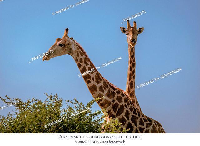 Portrait of Giraffes, Etosha National Park, Namibia, Africa