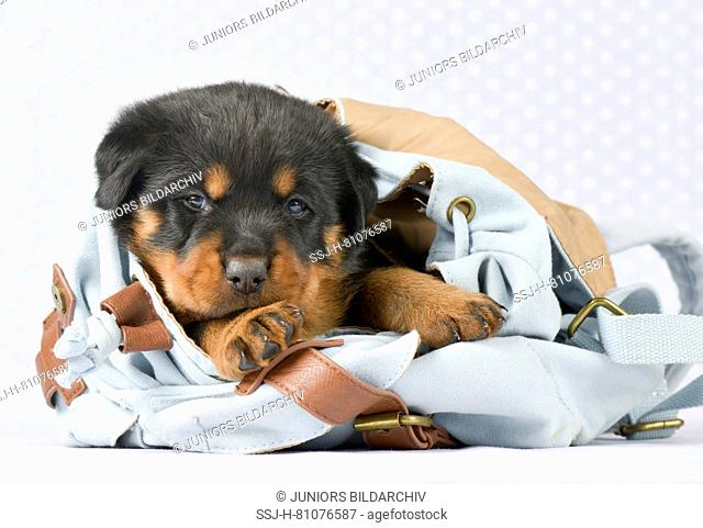 Mixed-breed dog, Rottweiler x Bernese Mountain Dog. Puppy (5 weeks old) lying in a rucksack. Studio picture. Germany