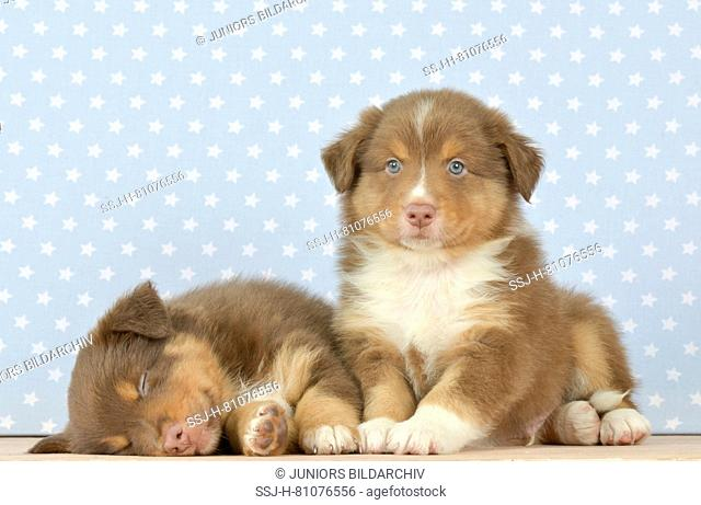 Australian Shepherd. Puppy (8 weeks old) sleeping, sibling sitting next to him. Studio picture. Germany