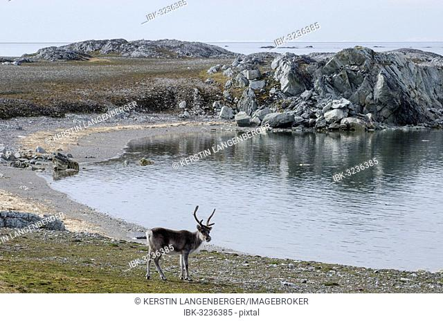 Svalbard Reindeer (Rangifer tarandus platyrhynchus), near Hyttevika, Spitsbergen Island, Svalbard Archipelago, Svalbard and Jan Mayen, Norway