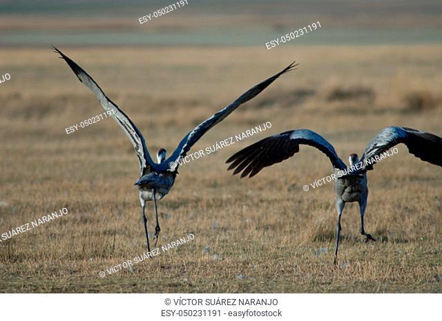 Common cranes (Grus grus) taking flight. Gallocanta Lagoon Natural Reserve. Aragon. Spain