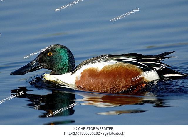 Northern Shoveler, Shoveler Duck , Anas clypeata