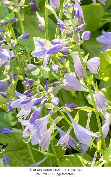 Plantain Lily / Hosta 'Blonde Elf'