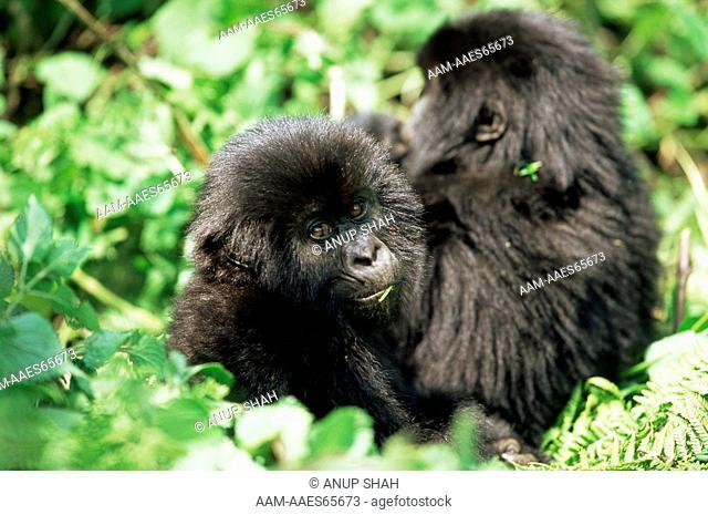 Two juvenile Mountain Gorillas sitting in vegetation (Gorilla gorilla beringei) Parc des Volcans National Park, Rwanda