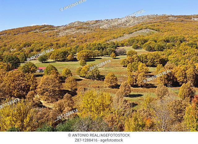 Oaks (Quercus pyrenaica), El Cardoso de la Sierra, Macizo del Pico del Lobo, Parque Natural Sierra Norte de Guadalajara, Guadalajara, Spain