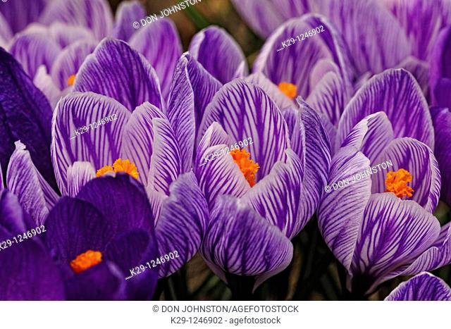 Crocus blossoms in early spring