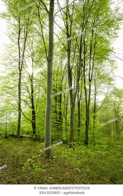 Beech woodland in spring at Rowberrow Warren in the Mendip Hills, Somerset, England