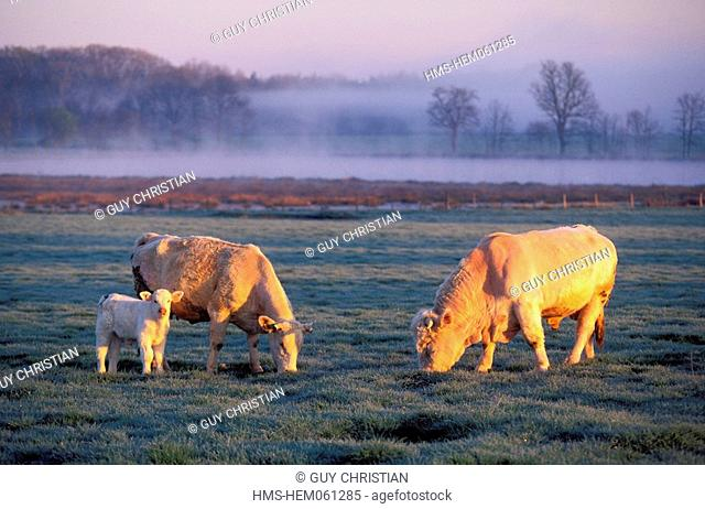 France, Loire, Forez plain, Charolais bull and cow and its calf
