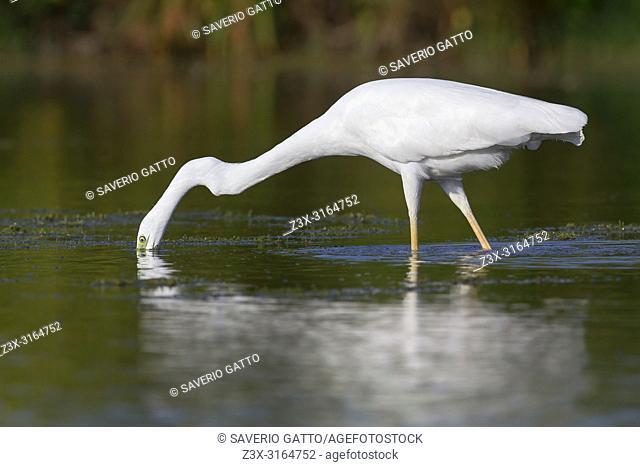 Western Great Egret, Campania, Italy