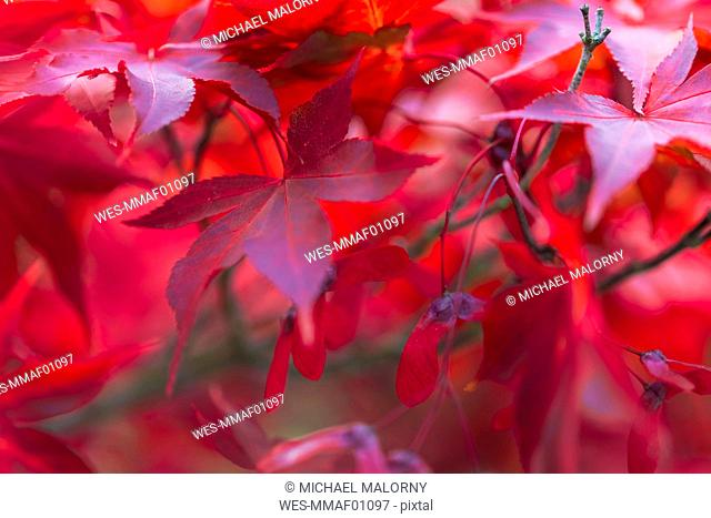 Close-up of red leaves on maple tree, New York, USA