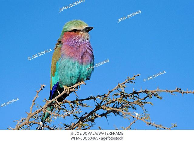 Lilac-breasted Roller, Coracias caudatus, Chobe National Park, Botswana