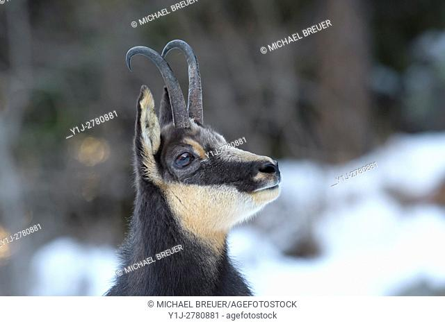 Chamois, Rupicapra rupicapra, Male, Gran Paradiso National Park, Alps, Italy, Europe