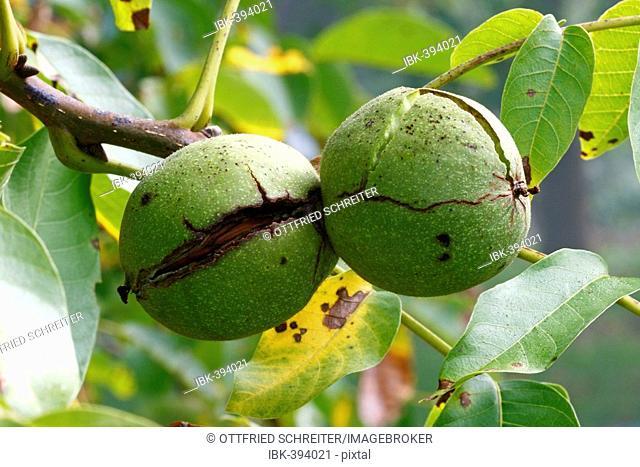 Fruit of Common Walnut (Juglans regia), nuts still in the shell