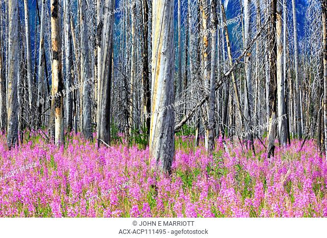 Fireweed in Kootenay National Park, BC, Canada
