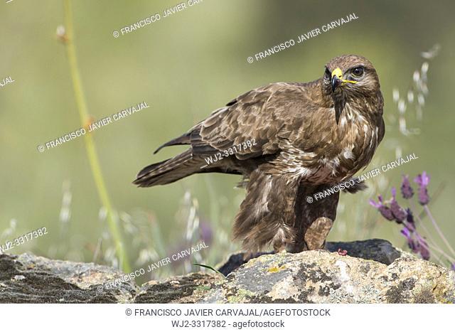 Common buzzard (Buteo buteo) on the rocks in Extremadura, Spain