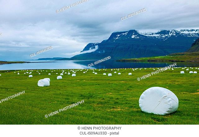 Coastal field with white wrapped hay stacks, East Iceland