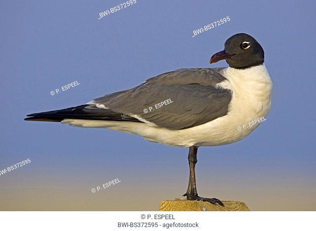 laughing gull (Larus atricilla), looking around, USA