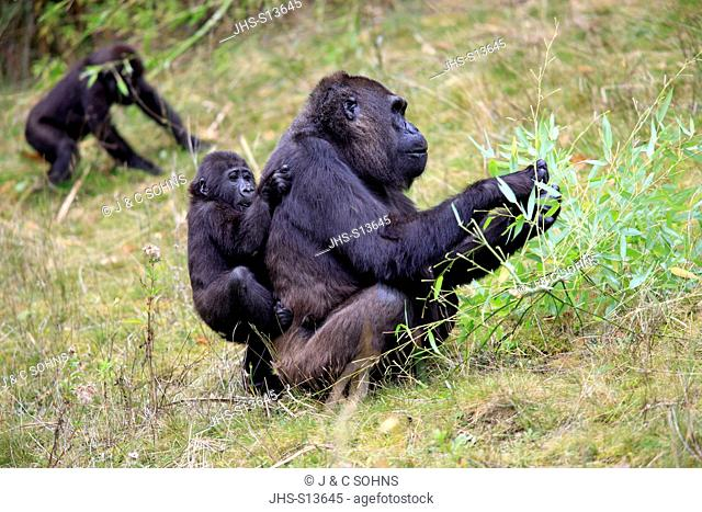 Lowland Gorilla, (Gorilla gorilla), Africa, adult female with young on mother's back
