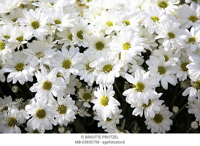 Asters, detail, blooms, knows, plants, flowers, aster-plants, composites, autumn-asters, hybrids, blooms, prime, garden-flowers, ornament-flowers symbol concept