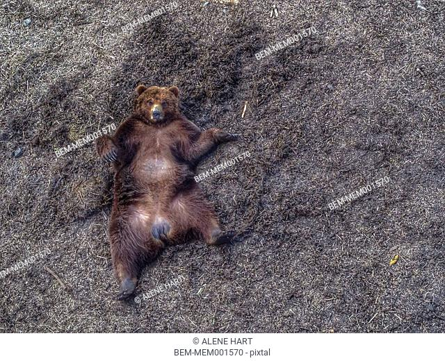 Bear laying on dirt ground