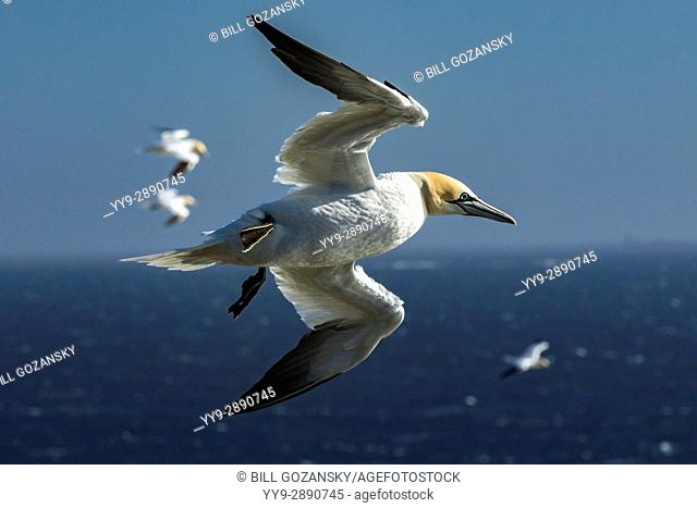 Northern Gannet (Morus bassanus) in flight at Cape St. Mary's Ecological Reserve, Cape St. Mary's, Avalon Peninsula, Newfoundland, Canada