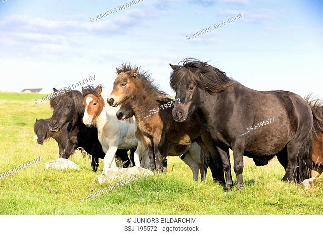 Shetland Pony Mares with foals on a meadow Unst, Shetlands