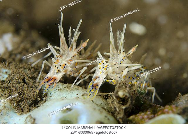 Pair of Colorful Tiger Shrimps (Phyllognathia ceratophthalmus) by sea squirts, Pong Pong dive site, Seraya, Bali, Indonesia