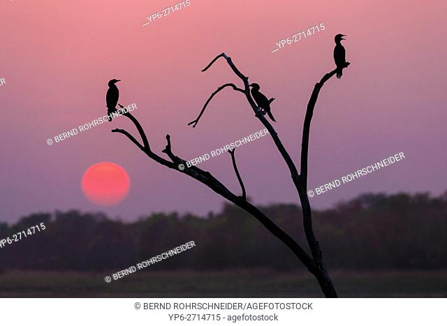 Little cormorants (Microcarbo niger) perched on tree at sunset, Tadoba National Park, Maharashtra, India