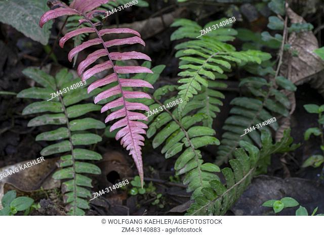 Close-up of ferns growing in the cloud forests at Mindo, near Quito, Ecuador