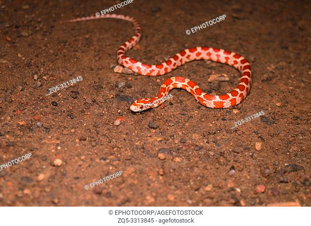 Corn snake, Pantherophis guttatus, Satara, Maharashtra, India