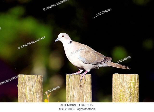 Eurasian Collared Dove (Streptopelia decaocto) standing on a wooden fence. Germany