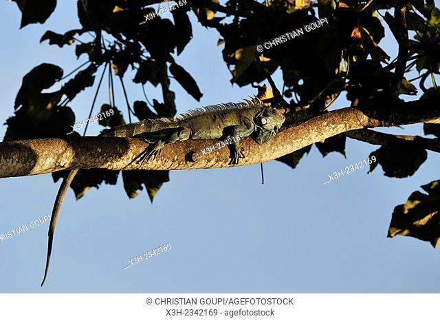 green iguana, Guadeloupe, overseas region of France, Leewards Islands, Lesser Antilles, Caribbean