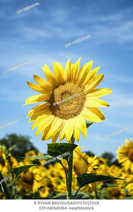 Close up of bright yellow bloomng sunflowers field in sunny summer day. Agricultural concept