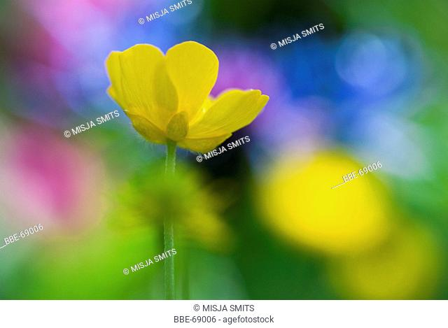 Macro picture of a buttercup with colourful flowers in the background