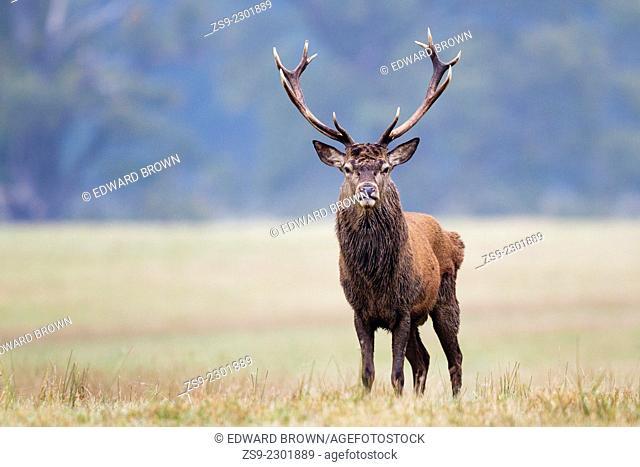 Red deer stag portrait (cervus elaphus) Windsor Great Park, Berkshire,England,UK