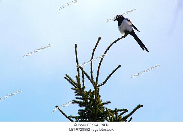 A magpie on top of a spruce tree