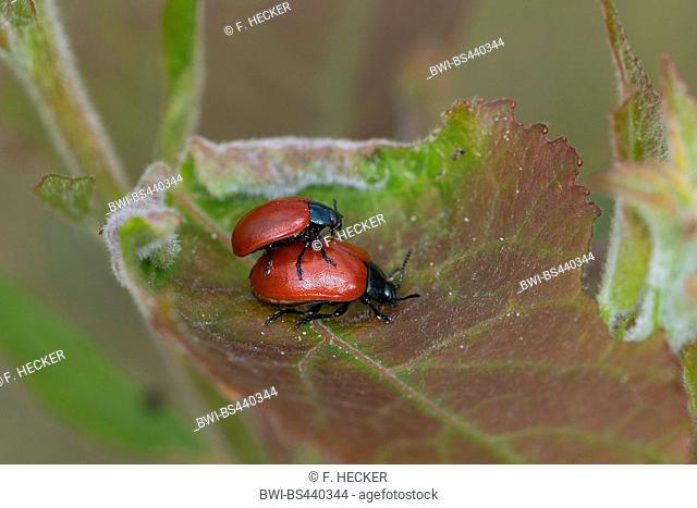 red poplar leaf-beetle, poplar leaf beetle, poplar beetle (Chrysomela populi, Melasoma populi), at mating on a leaf, side view, Germany