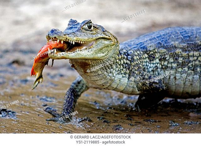 Spectacled Caiman, caiman crocodilus, Catching Fish in River, Los Lianos in Venezuela